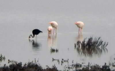 One of a kind Black Flamingo returns to Akrotiri Salt Lake