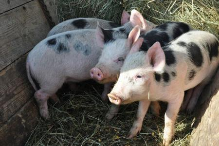 Romanian pig farmers want EU exports ban lifted as prices slump